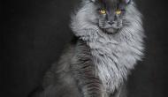 El «gato-león»